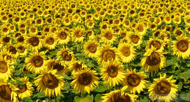 Sonnenblumen auf einem Feld in Brandenburg