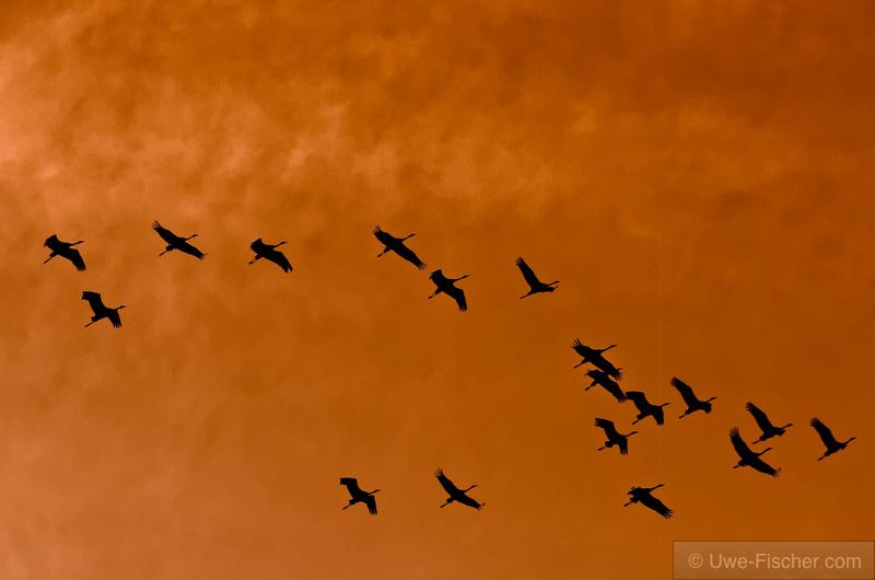Kraniche fliegen am Abend zu ihren Schlafplätzen