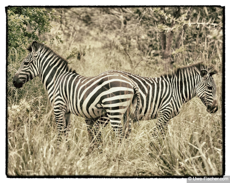 Ein-Zwei-Zebra