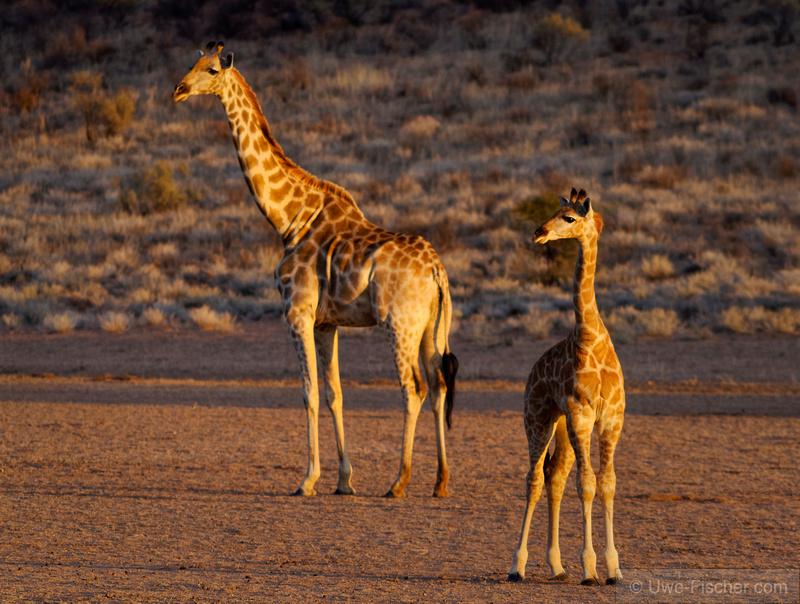 Giraffen im Kgalagadi Transfrontier National Park - Südafrika